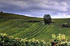 De herfst in de wijngaarden Stock Afbeeldingen