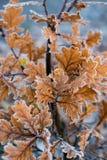 De herfst/de Winterbladeren in de Vroege Vorst die van de Ochtendgrond worden behandeld Royalty-vrije Stock Fotografie