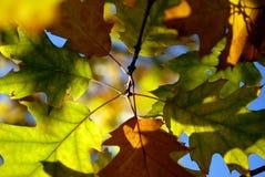 De herfst doorbladert. Royalty-vrije Stock Afbeeldingen