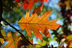 De herfst doorbladert. Stock Afbeelding