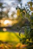 De herfst doorbladert bij zonsondergang Royalty-vrije Stock Foto's