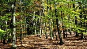 De herfst in een beukbos stock video