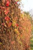 De herfst een haag van wijnstokken stock afbeelding