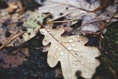 De herfst eiken blad met regendalingen Stock Foto