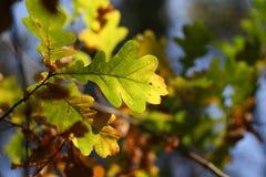 De herfst: eiken bladeren Royalty-vrije Stock Afbeeldingen