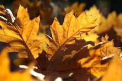 De herfst eiken bladeren als achtergrond Royalty-vrije Stock Afbeeldingen