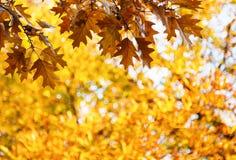 De herfst eiken bladeren op een tak met eikels Stock Afbeelding