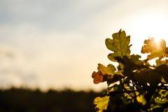 De herfst eiken bladeren tegen een het plaatsen zon stock foto