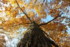 De herfst eiken boom Stock Afbeelding