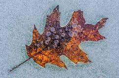 De herfst eiken die blad in ijs wordt bevroren royalty-vrije stock foto's