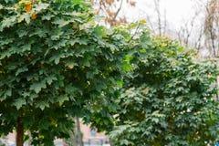 De herfst, esdoornbladeren in een stadspark royalty-vrije stock afbeelding