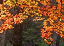 De herfst, esdoornbladeren, herfstgebladerte Stock Foto's