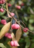 De herfst Euonymus (as) stock foto's