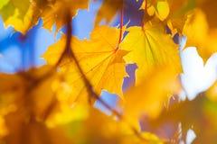 De herfst gaat en vertakt zich tegen de blauwe hemel weg Stock Foto