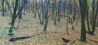 De herfst gekleurd hout Stock Foto
