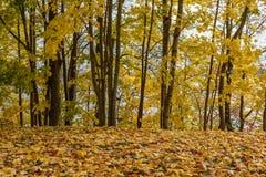 de herfst gekleurd van boombladeren patroon als achtergrond in zonnig park Royalty-vrije Stock Foto's