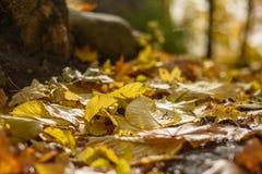 de herfst gekleurd van boombladeren patroon als achtergrond in zonnig park Royalty-vrije Stock Fotografie