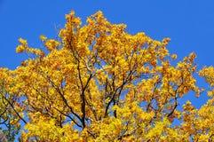 De herfst gekleurde boom Stock Foto's