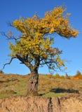 De herfst gekleurde boom Royalty-vrije Stock Fotografie