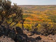 De herfst gekleurde espbomen in woestijn Royalty-vrije Stock Foto
