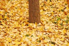 De herfst, gele bladeren Royalty-vrije Stock Afbeeldingen