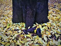 De herfst, gele bladeren en boomstam stock afbeelding