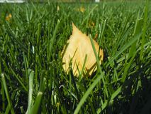 De herfst gele bladeren op groen gras, macroclose-up Stock Foto