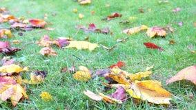 De herfst gele bladeren op groen gras in park die op wind, de herfstgrond van het zonlichtgebladerte, kleurenachtergrond blazen i stock footage