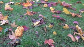 De herfst gele bladeren op groen gras in park die op wind, de herfstgrond van het zonlichtgebladerte, kleurenachtergrond blazen i stock video