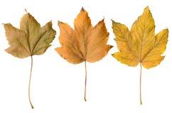 De herfst gele bladeren op isolate Royalty-vrije Stock Foto