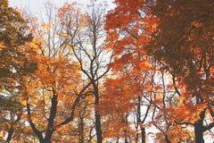 De herfst Gele Bomen stock afbeelding