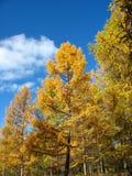 De herfst. Gele lariksbovenkanten tegen blauwe hemelachtergrond Royalty-vrije Stock Foto