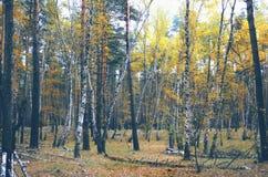 De herfst gele wilde bos, openlucht wandeling Stock Afbeeldingen