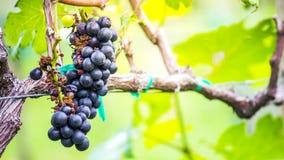 In de herfst gerijpte druif Royalty-vrije Stock Foto's