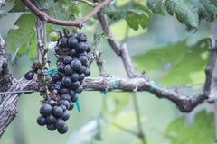 In de herfst gerijpte druif Stock Afbeeldingen