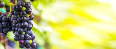 In de herfst gerijpte druif Stock Foto's