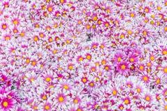 De herfst heldere gekleurde chrysant Stock Fotografie