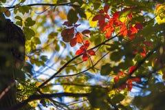 De herfst heldere rode bladeren in een kader van groene bladeren royalty-vrije stock foto's