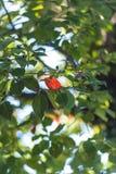 De herfst heldere rode bladeren in een kader van groene bladeren royalty-vrije stock afbeeldingen