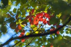 De herfst heldere rode bladeren in een kader van groene bladeren stock afbeelding