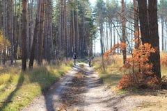 De herfst, de herfsthout, de weg in het bos, de zon, pijnboom stock fotografie