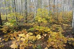 De herfst in het berk bos, mooie landschap royalty-vrije stock afbeeldingen