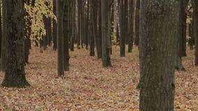 De herfst in het bos stock video
