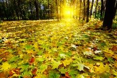 De herfst in het bos. Stock Foto