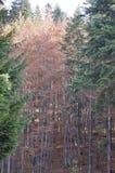 De herfst in het dikke hout stock afbeelding