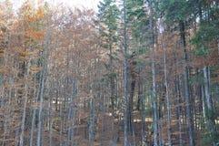 De herfst in het dikke hout stock fotografie