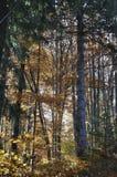 De herfst in het dikke hout royalty-vrije stock afbeelding