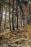 De herfst in het dikke hout royalty-vrije stock fotografie