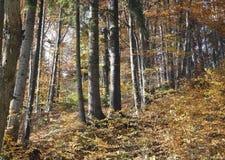 De herfst in het dikke hout stock foto