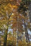 De herfst in het dikke hout stock foto's